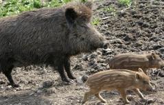 http://steiermark.orf.at/static/images/site/oeka/20110938/wildschweineapa.5005269.jpg